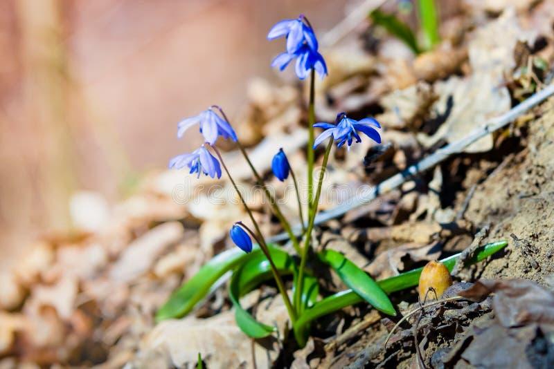 Erste Frühlingsblumen - Scilla Bifolia lizenzfreie stockfotografie