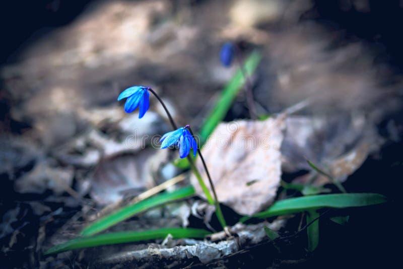Erste Frühlingsblumen - Scilla Bifolia stockbilder