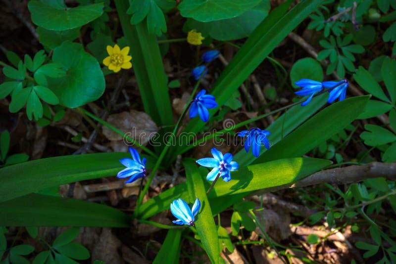 Erste Frühlingsblumen - Scilla Bifolia lizenzfreies stockbild
