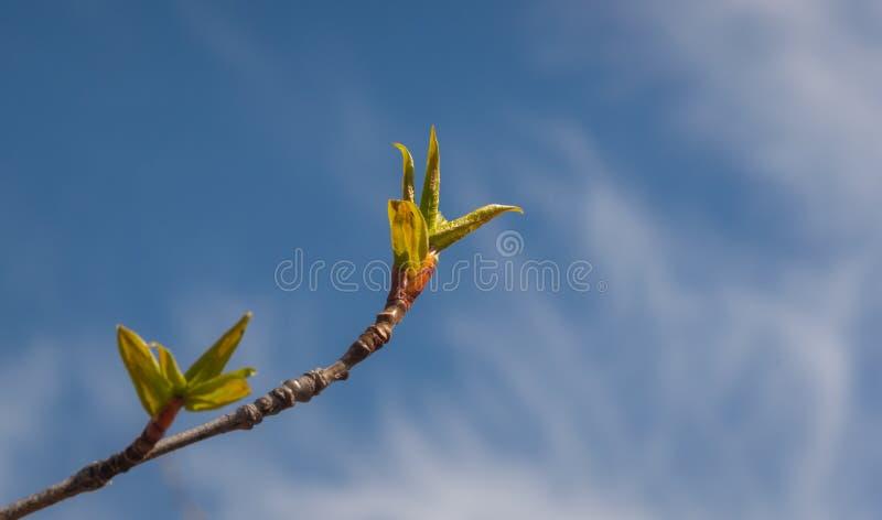 Erste Pappel verlässt im Frühjahr lizenzfreies stockfoto