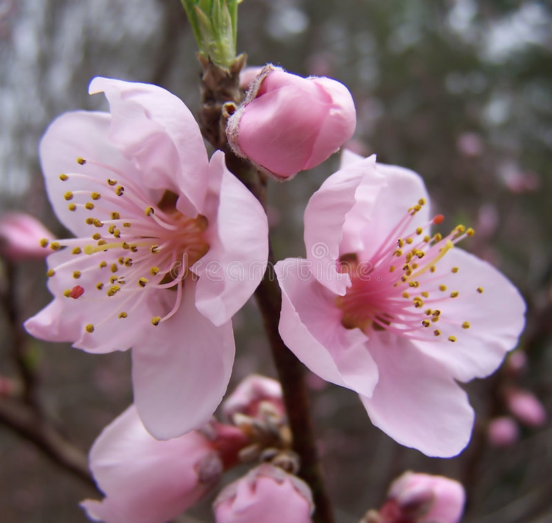 Erste Pfirsich-Blüten in Georgia lizenzfreies stockbild