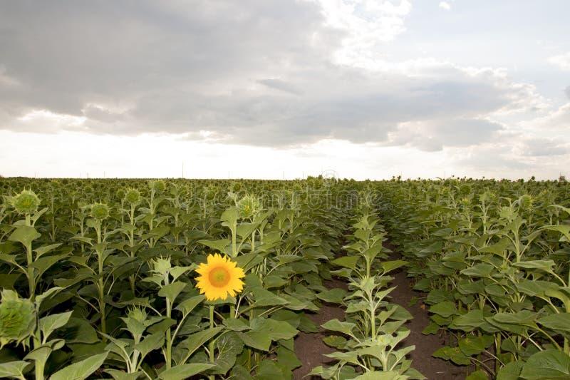 Erste Sonnenblume stockbilder