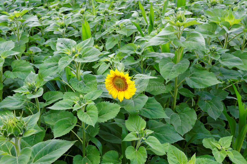 Erste Sonnenblumenblüte auf dem Gebiet lizenzfreies stockbild