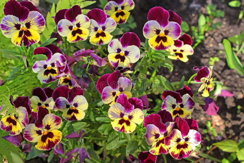 Erste Stiefmütterchenblumen am Frühling lizenzfreies stockfoto