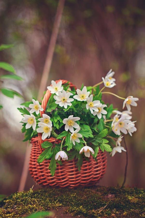 Erster Frühling des Weiß blüht in einem Weidenkorb in einem Wald lizenzfreies stockbild