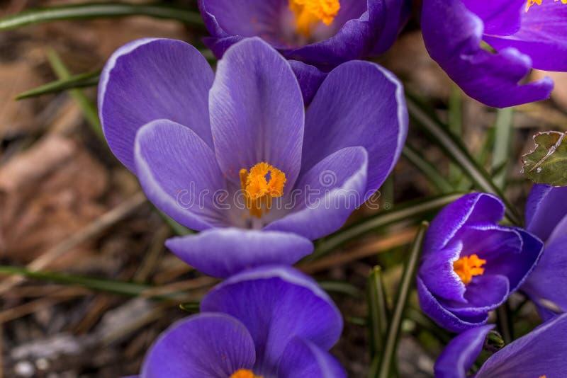 Erster Frühling Krokus-Blumen Aythya stockfotos