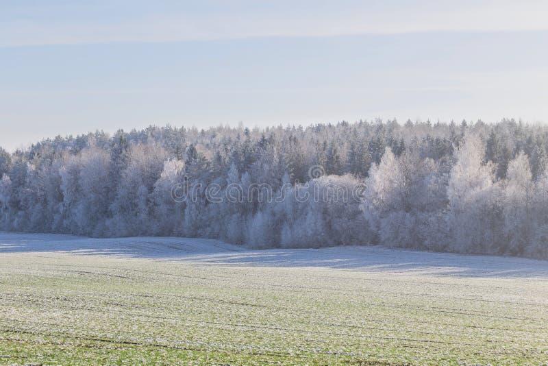 Erster Frost in der Waldbelarussischen Landschaft Anfang des Winters stockfotografie