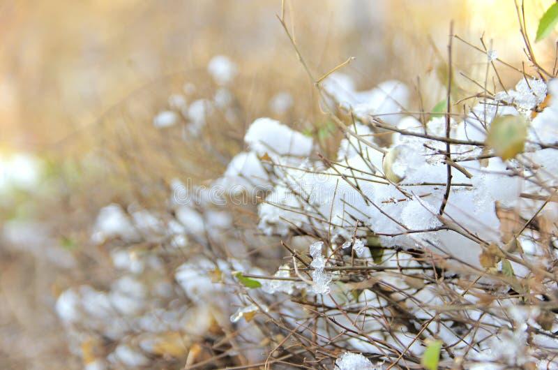 Erster Schnee auf den Büschen lizenzfreies stockbild