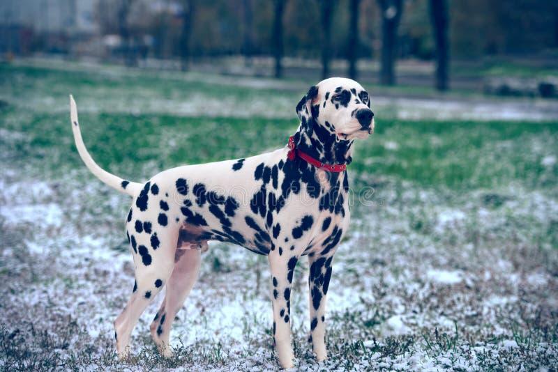 Erster Schnee des Dalmatiners stockbilder