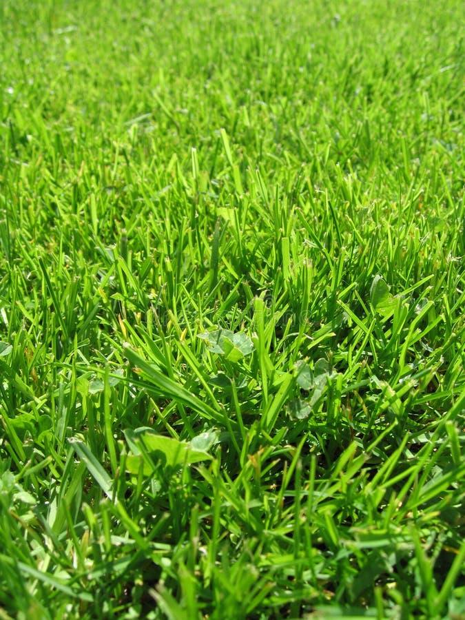 Erstes Gras stockfotos