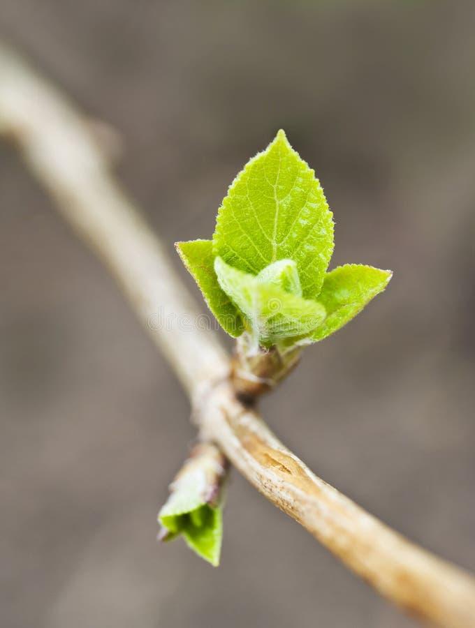 Erstes kleines Grün verlässt im Frühjahr lizenzfreie stockfotos