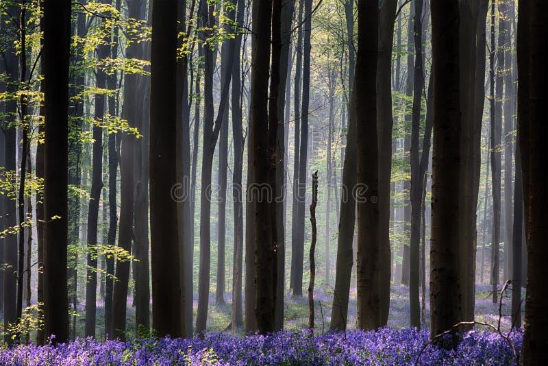 Erstes Sonnenlicht des frühen Morgens, das den Frühlingswald bedeckt mit wilden Blumen der violetten Glockenblume weckt lizenzfreie stockbilder