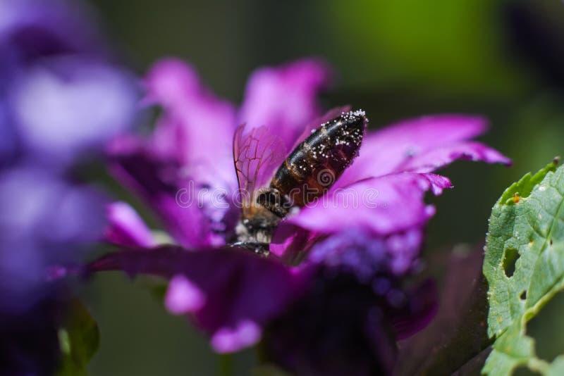Erstes Tauchen des Bienenkopfes in eine purpurrote Blume stockbild