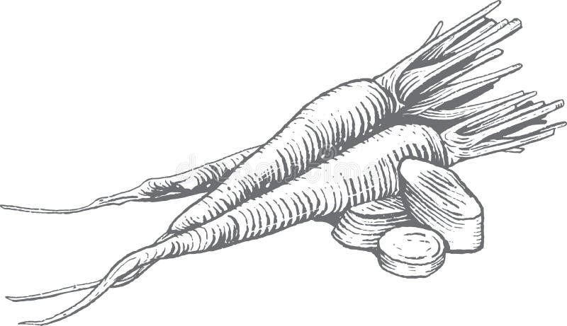 Erstklassige Vektor-Holzschnitt-Karotten-Illustration lizenzfreie stockfotografie