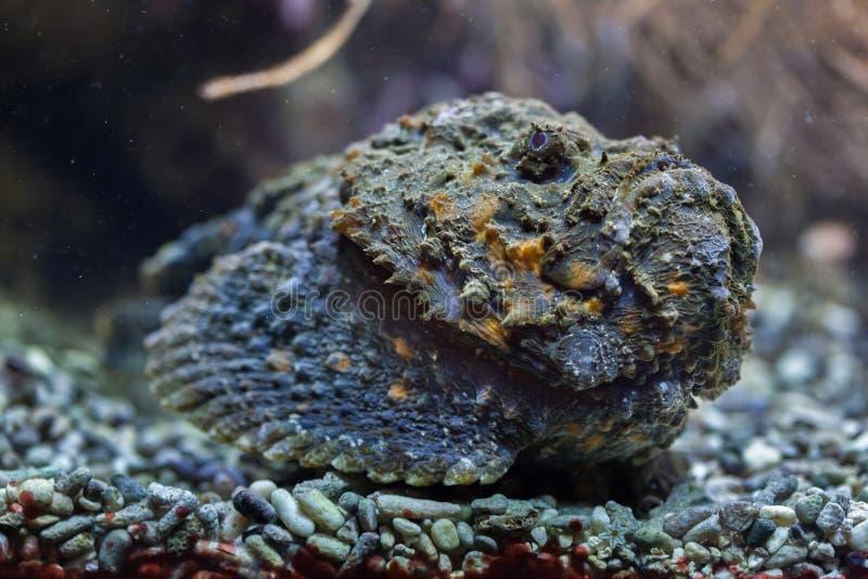 Ertsader stonefish & x28; Synanceia verrucosa& x29; stock afbeelding