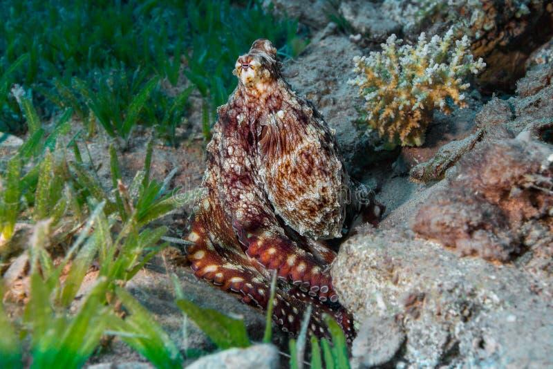 Ertsaderoctopus (vulgaris Octopus) in oceaan Rode overzees, vissen, gestreepte vissen, Pterois volitans stock afbeeldingen