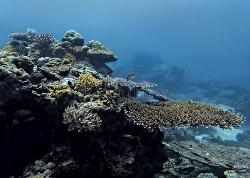 Ertsaderzeegezicht met koralen en tropische vissen in blauwe oceaan stock afbeelding