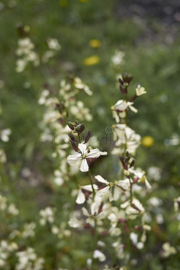 Eruca vesicaria in bloom. White flowers of Eruca vesicaria plants stock photos
