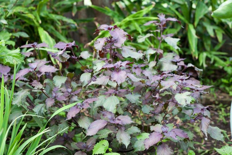 A erva asiática chamou frutescens de Perilla foto de stock