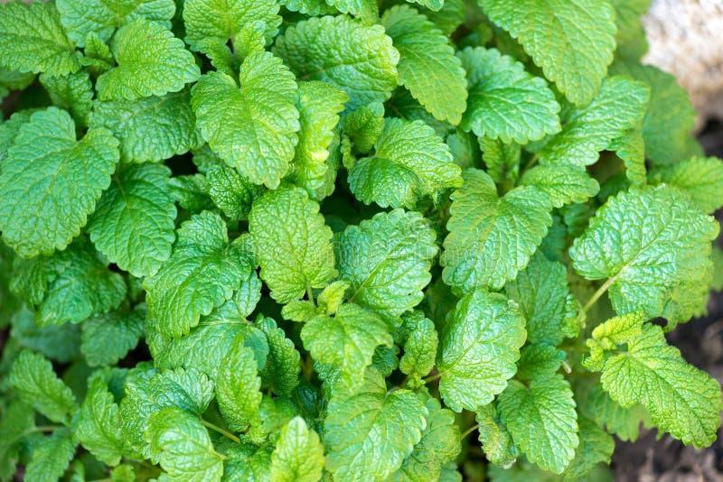 Erva-cidreira fresco que cresce na primavera o jardim fotos de stock