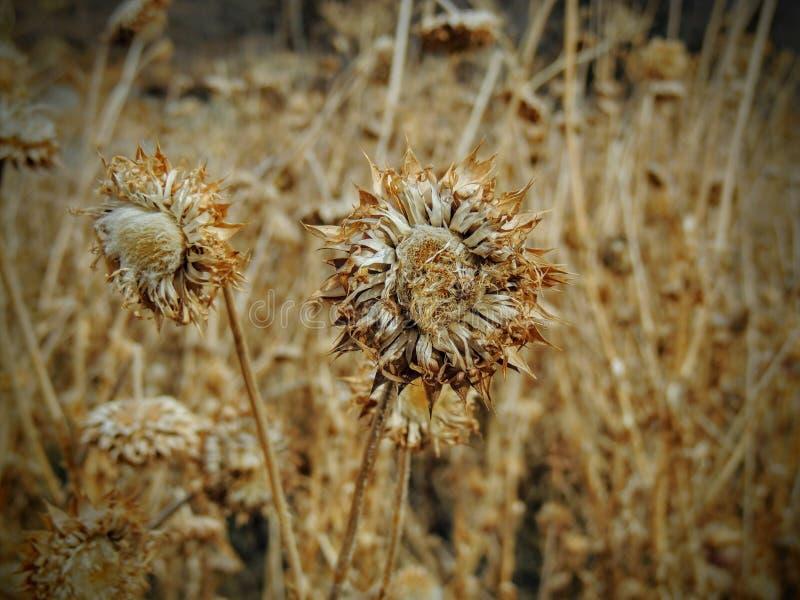 Erva daninha do cardo, nutans do Carduus dos almíscares ou Onopordum escocês, acanthium na queda, murchada e seca, mortos, fim ac fotografia de stock