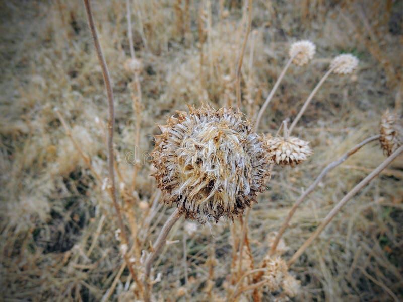 Erva daninha do cardo, nutans do Carduus dos almíscares ou Onopordum escocês, acanthium na queda, murchada e seca, mortos, fim ac foto de stock
