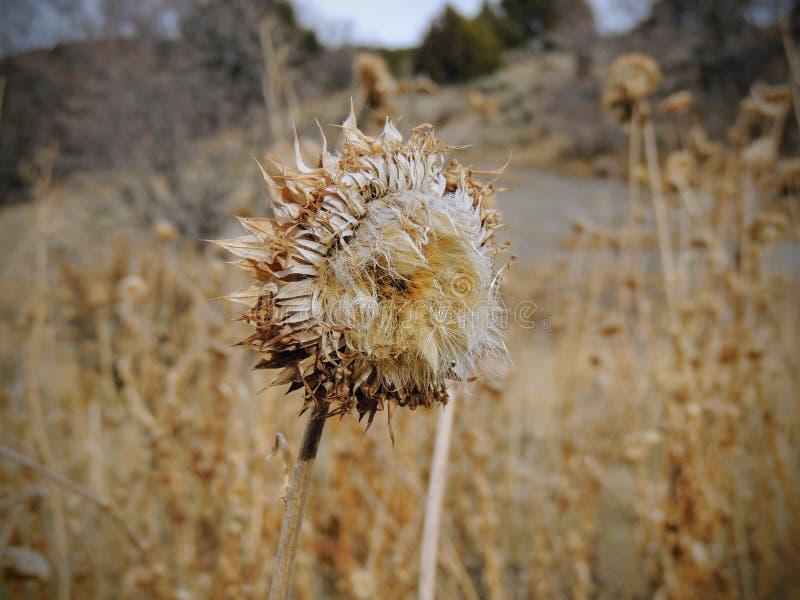 Erva daninha do cardo, nutans do Carduus dos almíscares ou Onopordum escocês, acanthium na queda, murchada e seca, mortos, fim ac imagem de stock