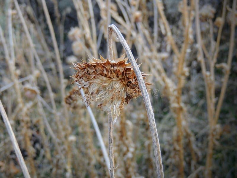 Erva daninha do cardo, nutans do Carduus dos almíscares ou Onopordum escocês, acanthium na queda, murchada e seca, mortos, fim ac fotos de stock