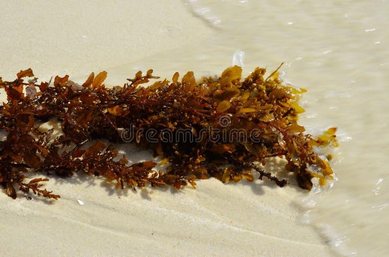Erva daninha do mar imagens de stock royalty free