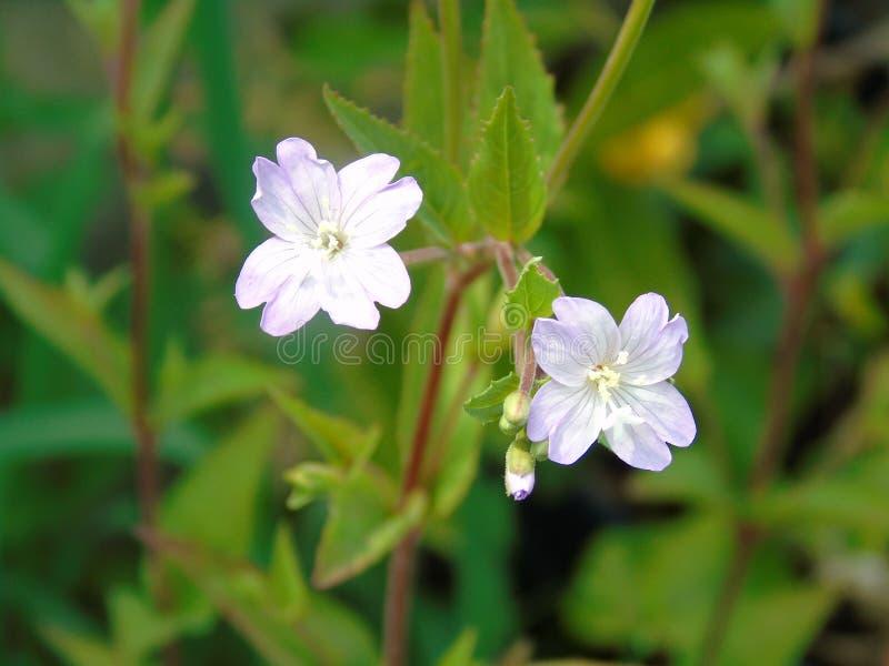 Erva daninha Himalaia do bálsamo da flor selvagem foto de stock royalty free