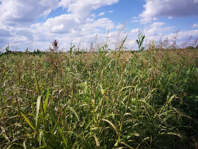 Erva daninha no campo da agricultura fotografia de stock