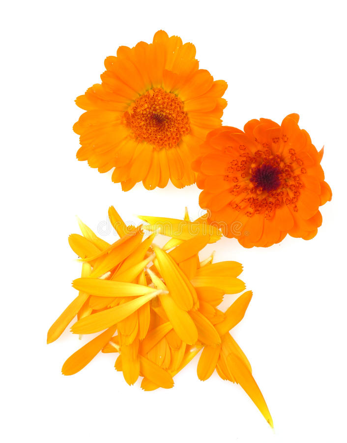 Erva do marigold de potenciômetro isolada foto de stock royalty free