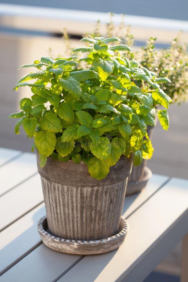 Erva do melissa do erva-cidreira no vaso de flores no balcão foto de stock