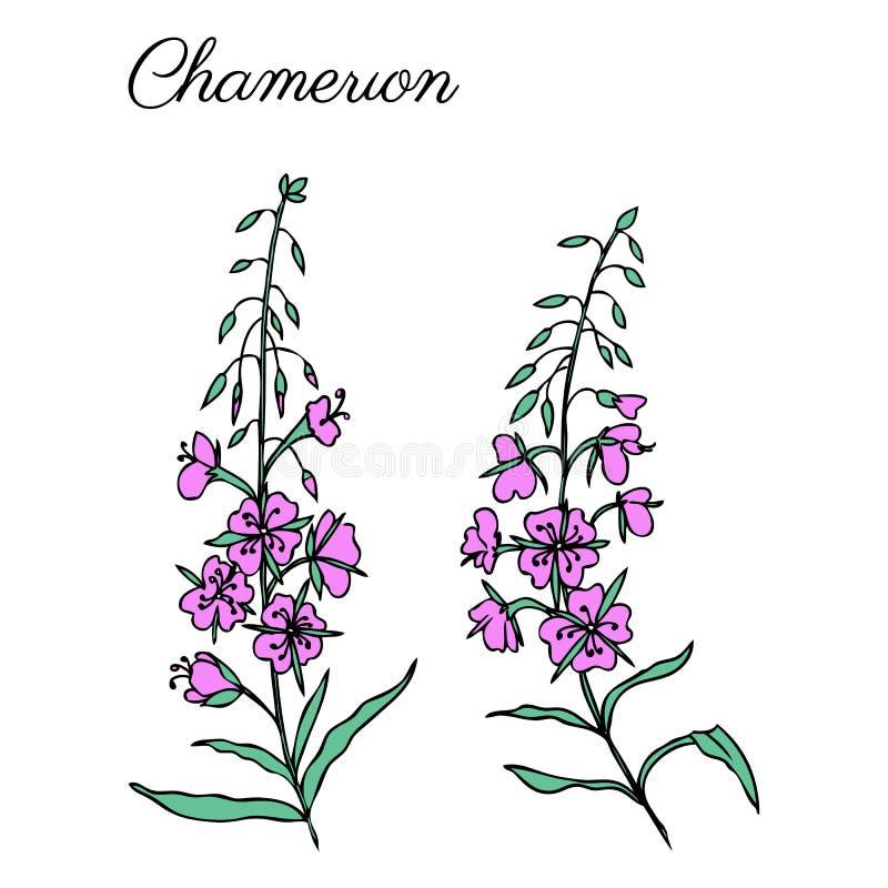 Erva do salgueiro, angustifolium de Chamerion, azaléia, do esboço colorido da tinta do oleandro ilustração botânica tirada mão, v ilustração stock