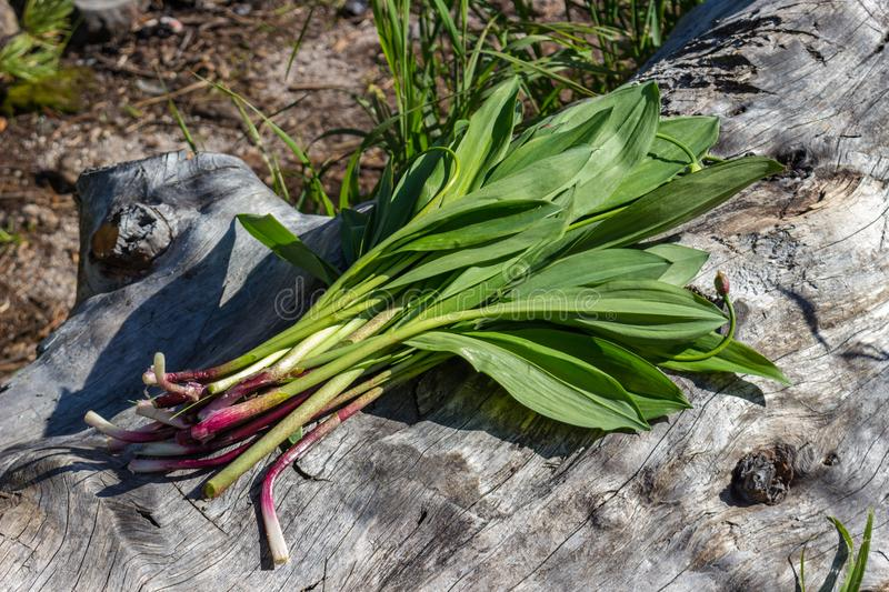 Erva do ursinum do Allium foto de stock royalty free