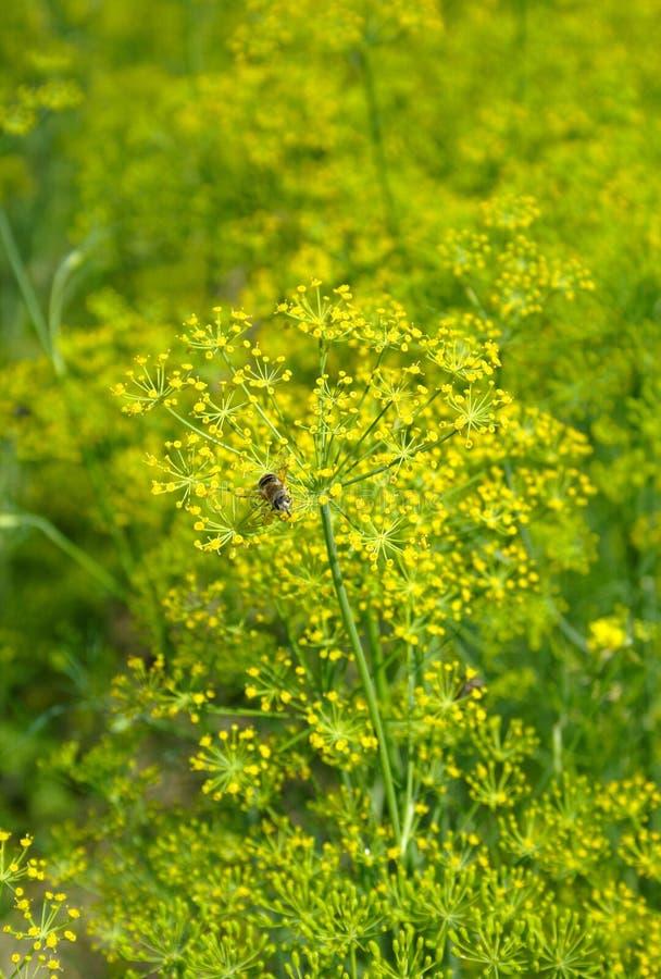 Erva-doce de florescência em um jardim imagens de stock royalty free