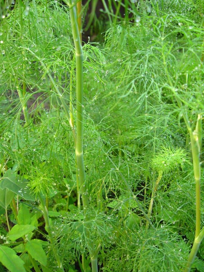 Download Erva-doce Que Cresce Em Uma Cama Imagem de Stock - Imagem de alimento, dill: 29835185