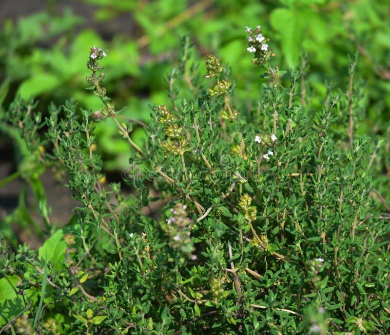 A erva fresca do tomilho cresce exterior A planta do tomilho sae do close-up Crescimento orgânico fresco das plantas do tomilho d foto de stock