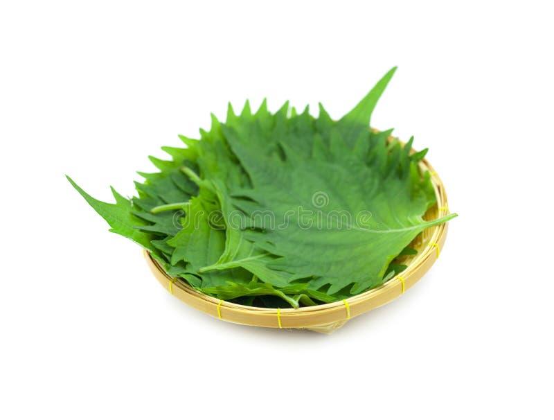 Erva japonesa, uma planta de bife; Crispa dos frutescens do Perilla imagens de stock royalty free