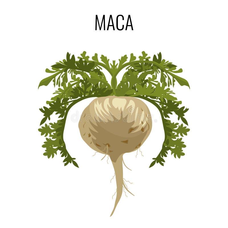 Erva medicinal ayurvedic de Maca Planta medicinal de vegetal de raiz ilustração royalty free