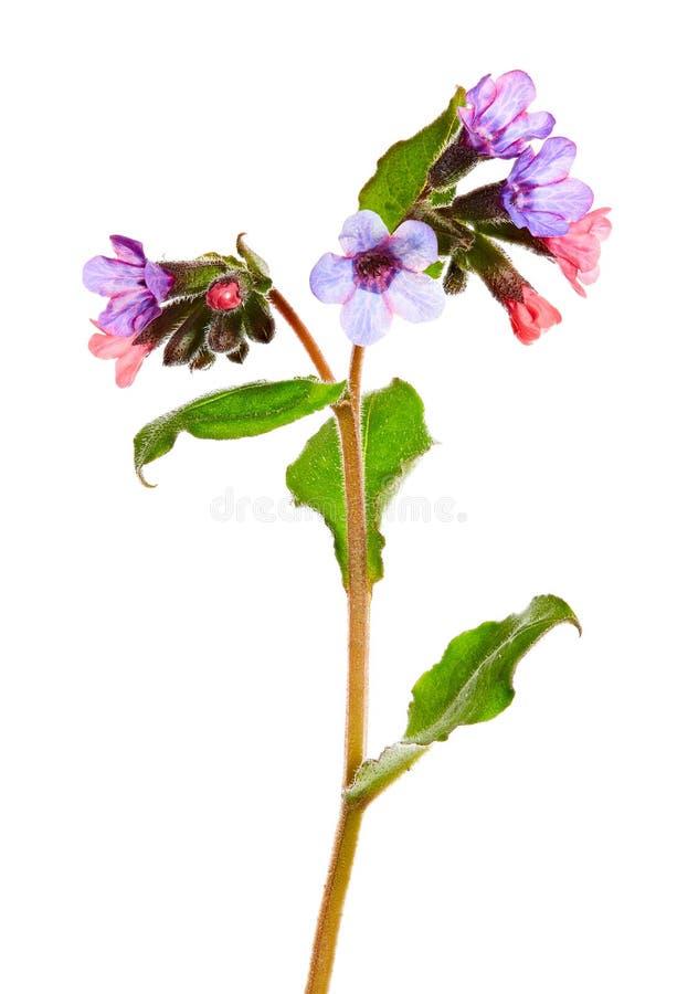 Erva medicinal Pulmonaria dos officinalis medicinais de Lungwort isolada no branco fotografia de stock