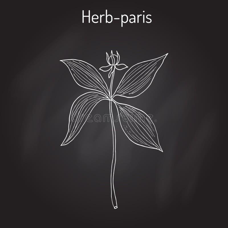 Erva-Paris, ou quadrifolia verdadeiro de Paris do nó do amante s, planta venenosa ilustração do vetor