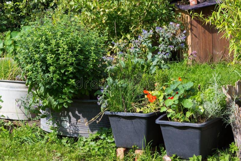 Ervas aromáticas da cozinha plantadas em uns recipientes imagens de stock royalty free