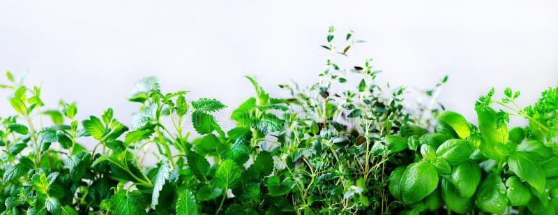 Ervas aromáticas frescas verdes - melissa, hortelã, tomilho, manjericão, salsa no fundo branco Quadro da colagem da bandeira das  imagem de stock royalty free