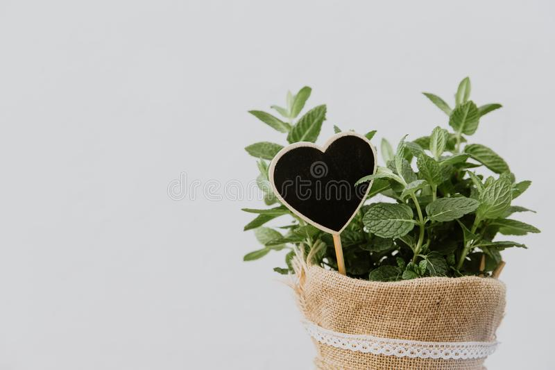Ervas da planta da hortelã no potenciômetro de serapilheira fotografia de stock royalty free
