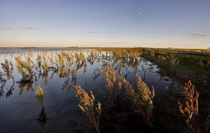 Ervas daninhas e região pantanosa secas Saskatchewan fotos de stock royalty free
