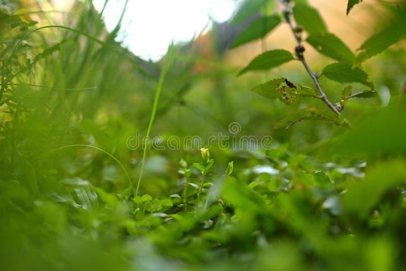 Ervas daninhas no gramado, fotografado com sele??o do foco foto de stock royalty free