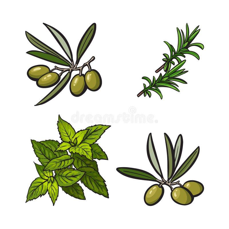 Ervas das azeitonas, da hortelã e dos alecrins, especiarias, ingredientes, ilustração do vetor do esboço ilustração do vetor