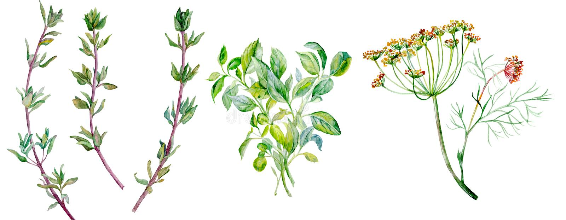 Ervas do condimento - aneto, tomilho, manjericão ilustração do vetor