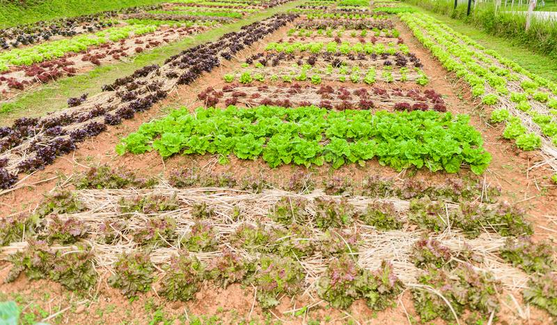 Ervas do jardim vegetal, e vegetais no jardim formal do quintal imagens de stock
